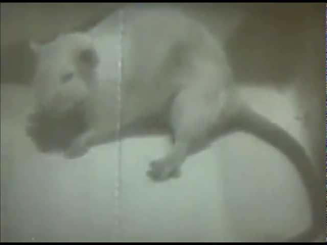 Алкоголизм в опытах над мышами
