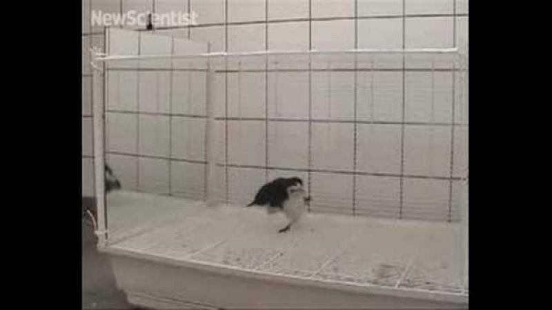 Mirror test shows magpies aren't so bird-brained
