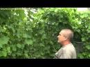 Виноград технология выращивания