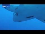 самая большая в мире акула - 6 метров