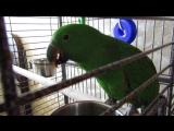 Ураськи! Мечта сбылась! Мой Антошка.) Благородный попугай (эклектус)