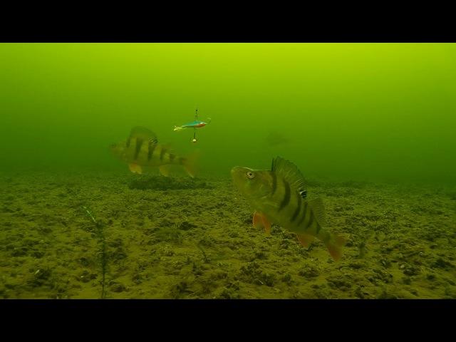 Ice fishing - Perch. Underwater camera