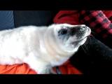 Детеныш тюленя