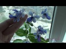 Клеродендрум угандийский Clerodendrum ugandense Цветение