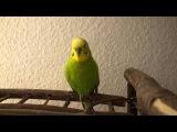 Попугай вундеркинд поет детские песни и читает Пушкина