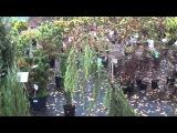 Хвойные растения для сада. Виды и сорта можжевельника. Сайт