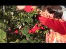 Осенняя обрезка малины и смородины Сайт Садовый мир