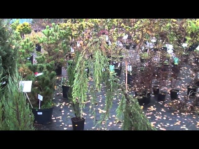 Хвойные растения для сада. Виды и сорта можжевельника. Сайт Садовый мир