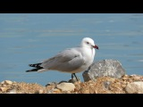 Audouins gull / Чайка Одуэна / Ichthyaetus audouinii