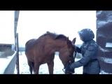 Видео урок по мягкому воспитанию лошадей. Как правильно надевать недоуздок и как научить лошадь опускать голову.