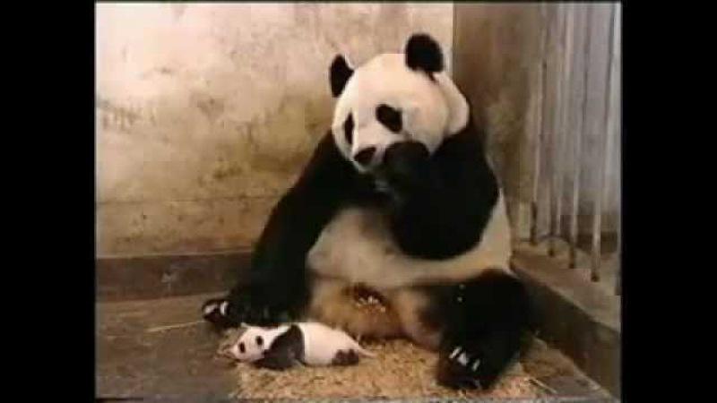 Кроха панда чихнула так, что мама вздрогнула.flv
