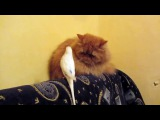 Parrot bothers serious cat - Попугай достает серьезного кота - Video Dailymotion