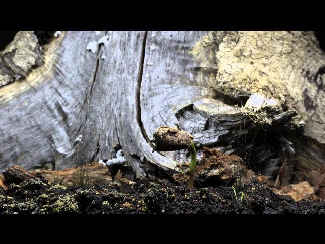 Кедр родился Time Lapse of Cedar Growing
