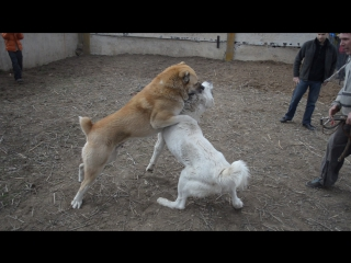 Собачьи бои 3
