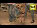 Героическая история собаки с двумя лапами. В мире домашних животных. Дай Лапу