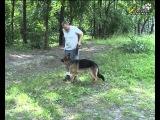 Дрессировка собак ОКД. Первое базовое упражнение