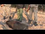 Охота на кабана загоном