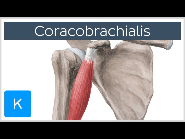 Клюво-плечевая. Coracobrachialis Muscle - Origin, Insertion Innervation - Human Anatomy |Kenhub