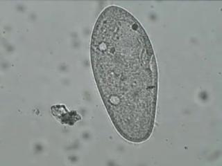 Инфузория туфелька paramecium caudatum