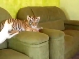 Кто-нибудь, скажите ему, что он тигр