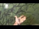 Голубое озеро. Бучак. Ручные рыбки.