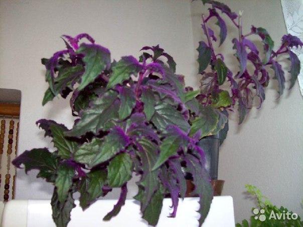 Фиолетовый комнатный цветок фото