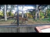 Зоопарк Уичито. Дальневосточный леопард