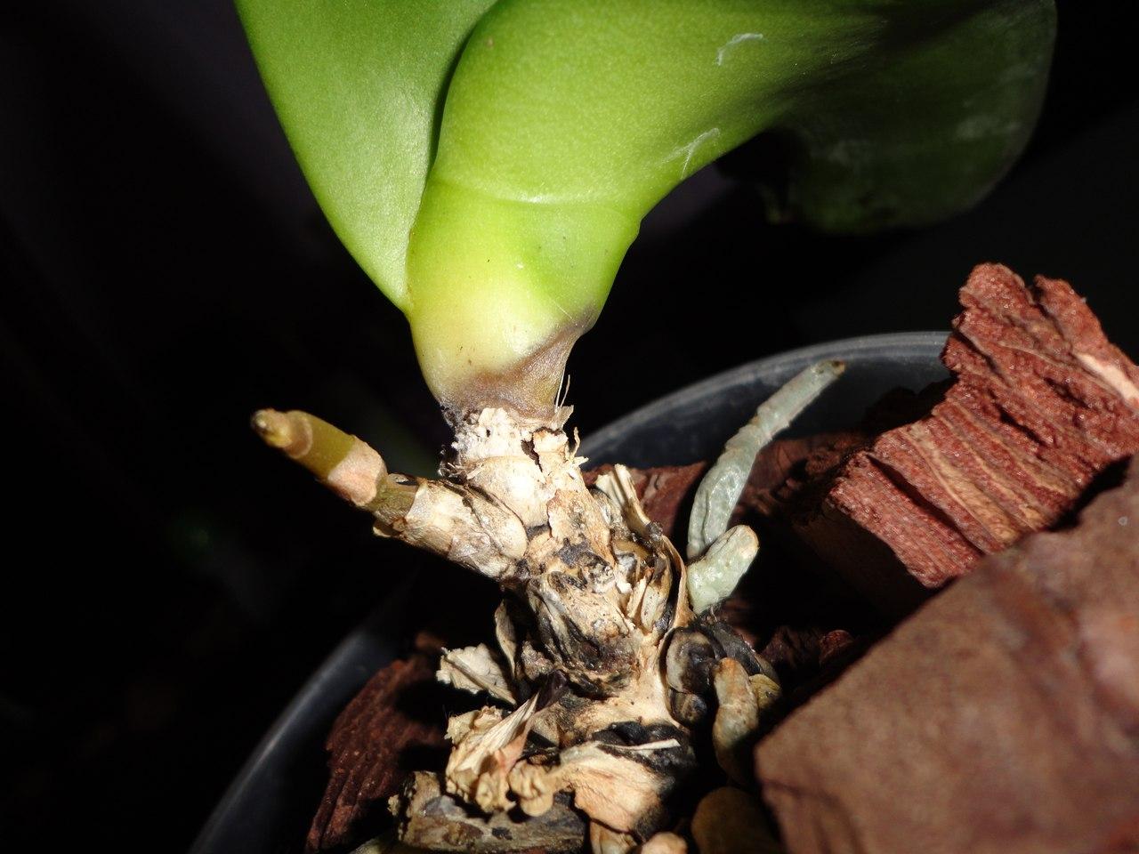Орхидеи и размножение в домашних условиях фото