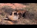 Жесткая драка двух тигров