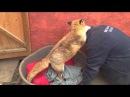 Благодарность лисы не знает границ