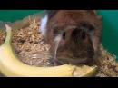 Морская свинка ест банан, аппетитно кушает
