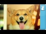 Carly Rae Jepsen - Call Me Maybe - Corgi Rae - Pet Parody