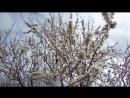 миндальное дерево mandorlo