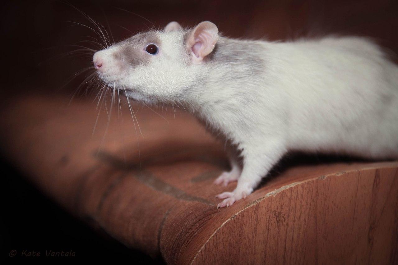 пятнистая крыса фото подход позволяет мужчинам