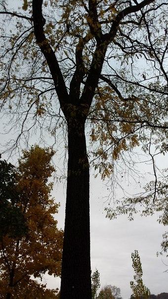Дерево, под которым были собраны орехи нижнего ряда