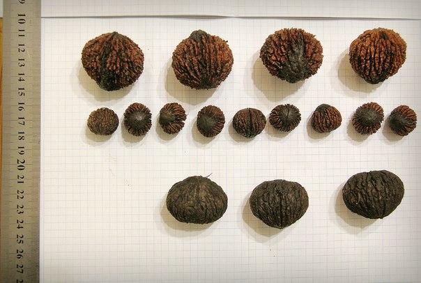 В верхнем ряду, судя по всему черный орех. Те, что в среднем ряду очень похожи на  верхние, только значительно меньшего размера, при том, что дерево, под которым были собраны более мелкие намного выше. А нижний ряд – вообще другие.
