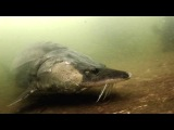 Самая большая в мире пойманная Рыба # Белуга осётр 1490 кг