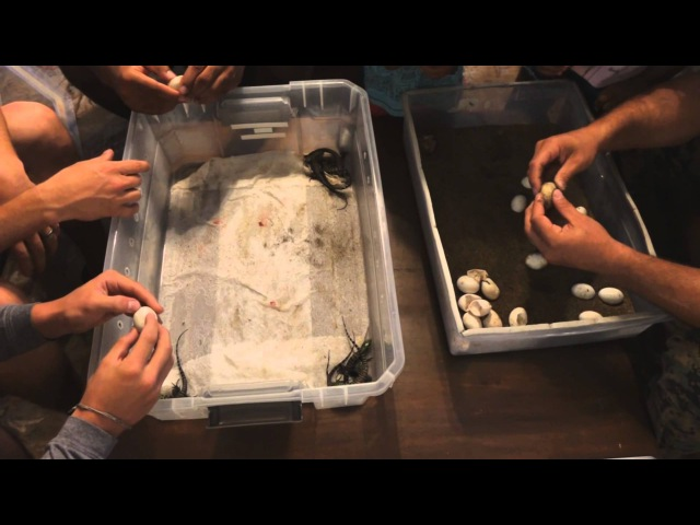 Herein Lies the Rub The First Tegu Hatching Party of 2015