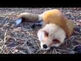Домашняя лиса играет! Ну очень красивая!