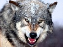 Manowar - Spirit Horse Of The Cherokee ( Wolf sounds)