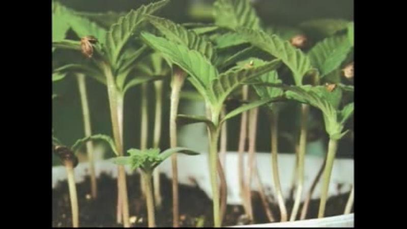 Vysshij pilotazh vyrashhivanija marihuany - Ultimate Grow
