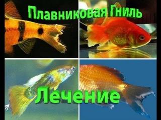 Лечение Плавниковой гнили у Аквариумных рыб/ Treatment of Fin rot in Aquarium fish