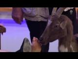 Enissa Amani Tiere wie wir (Goat licking feet)