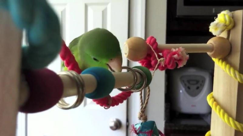 Fig the Parrotlet Playing on his Homemade Bird Gym » Freewka.com - Смотреть онлайн в хорощем качестве