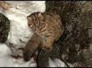 Зов тайги №17 Лесной кот