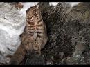 Лесной кот в столовой леопарда Leopard cat