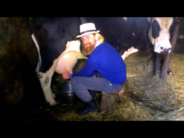 Вуйцьо швитке доїння корови львовской область
