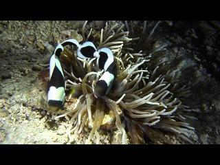 Морской рифовый аквариум - Рыбы клоуны