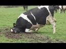 Танцуют от счастья коровы