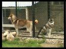 Порода собак Сибирский Хаски. Программа Живой дом